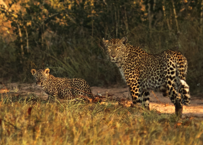 New Campbell Koppie's cub keeps an eye on the large vehicles following down the road.