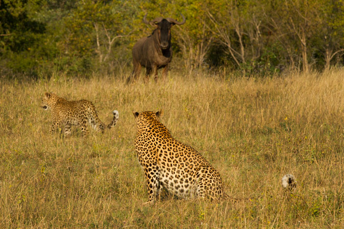 A territorial wildebeest bull warily watches the Mashaba female leopard and her cub as they cross a clearing near camp.