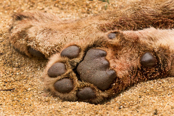 The paw of one of the Sparta Pride sub-adults. They were so bloated with wildebeest meat on this morning that I have seldom seen more uncomfortable looking lions!