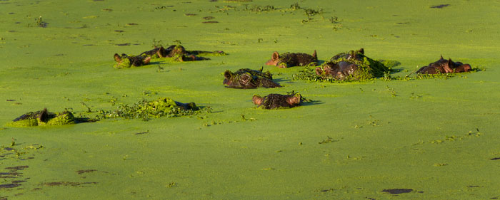 Unfortunately for these hippos, the gentle breeze on this day had made all the duckweed accumulate on their side of the waterhole