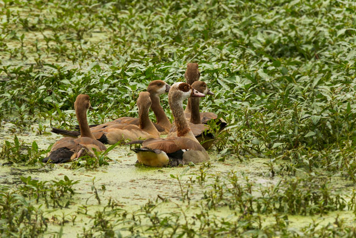 A female Egyptian goose leads her goslings through the duckweed and Stolonifera weeds on Shingalana Dam.