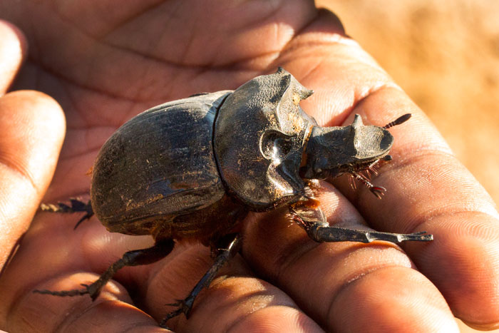 A very large dung beetle rests casually on Mike Sithole's hand. We were surprised to see this beetle on the road, as they tend to go dormant in Winter, only emerging with the first rains of next summer.