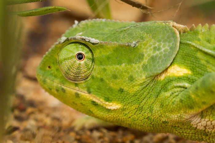 A flap-necked chameleon glances back through a beady eye. The eyes of these animals can swivel independently, maximising their field of vision to watch for both predators and prey.