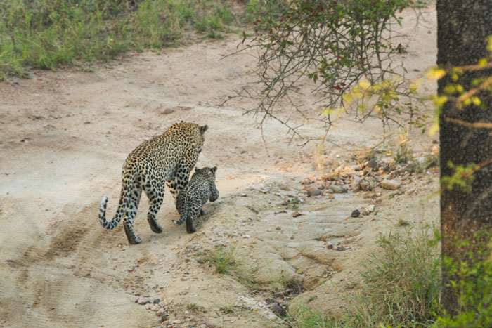 Its little legs doing twice the work of its mothers to cover the same distance, the little cub powers up the donga.