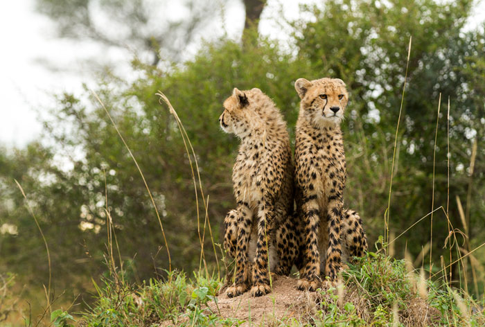 Never far apart, the two cubs constantly mirror each other in whatever they do.