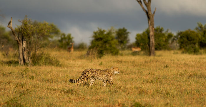 Impala watch warily ifrom the background as an approaching storm sends one of the cubs scampering towards its mother.