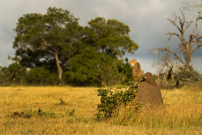 Climbing everything in sight, the cubs and their mother constantly provide wonderful photographic opportunities.