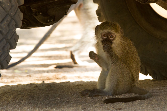 More vervet monkey antics around camp. While waiting for guests in the car park, the troop decided to use our vehicle as a jungle gym. This little one was just content to rest in the shade. f5.6, 1/160s, ISO 640.