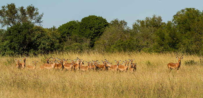 A male impala stands gaurd over his harem. The rut is in full swing, and the hilarious calls of the male impalas as they chase each other around and fight for dominance is a constant background noise throughout the day and evening. f7.1, 1/320s, ISO 100.