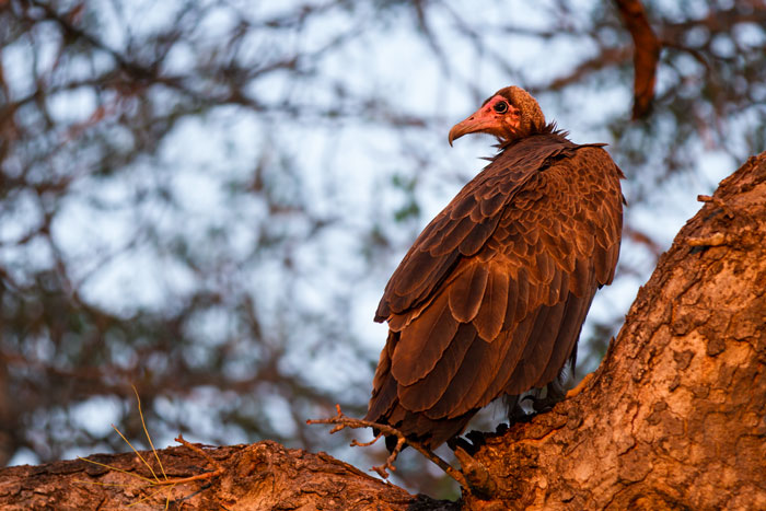 A hooded vulture glows pink as the rising sun hits it. Ugly birds at the best of times, the hooded vultures form an integral part of the clean-up crew in the bush, often the first to spot a kill from above.  f2.8, 1/400, ISO 320.