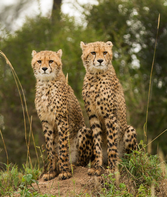 cheetahcubs