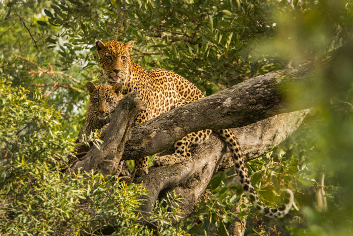 New Years Day 2013. A great way to ring in the new year, with the Vomba female and cub leaping through the trees together.