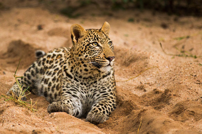 A male cub, her current offspring is almost as big as her, and is still heavily dependent on his mother. A a result, she is forced to hunt on a more regular basis, as the cub has quite an appetite.