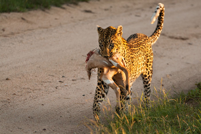 Stashing her cub for days at a time in a Tamboti thicket near camp, she frustrated our every effort go get a look at it. Here she carries part of an Nyala lamb back to her hungry cub.
