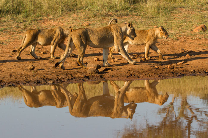 Sightings without too much action can still leave you speechless. The reflections of the Sparta pride as they moved past this waterhole were simply breathtaking!