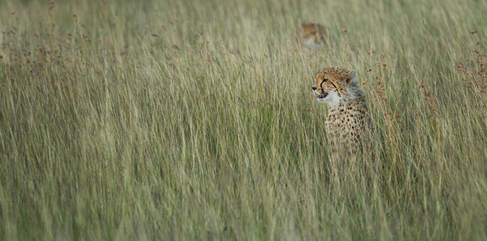 The two cheetah cubs in the long grass of the Sparta/Ravemscourt area. Shots like this remind us how difficult it is to spot these cats if they are not perched up on a termite mound or fallen tree.