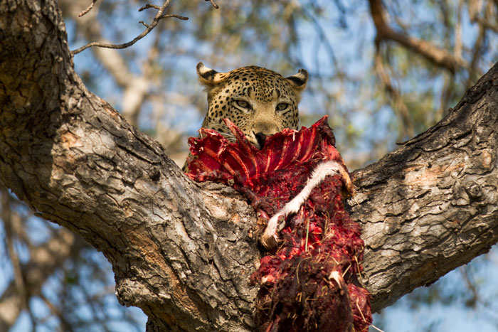 After launching himself into the marula tree, the Maxabene 3:3 young male leopard slowly approached his kill along a gently sloping branch. We waited in position, ready for him to poke his head up and over...