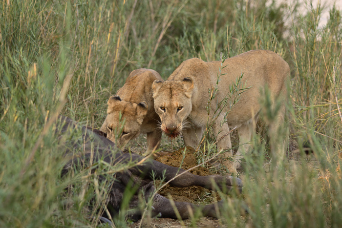 Two of the females of the Tsalala pride managed to take down a fully grown male buffalo on their own on the banks of the Sand River. Canon 500d F3.5 1/500 ISO 800
