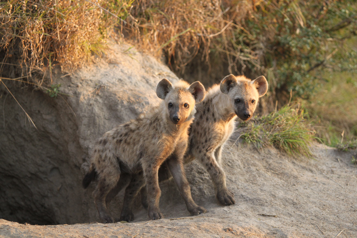 The two hyena pups off xidulu den site eagerly awaiting their mothers return. Canon 500d F5.6 1/500 ISO 800
