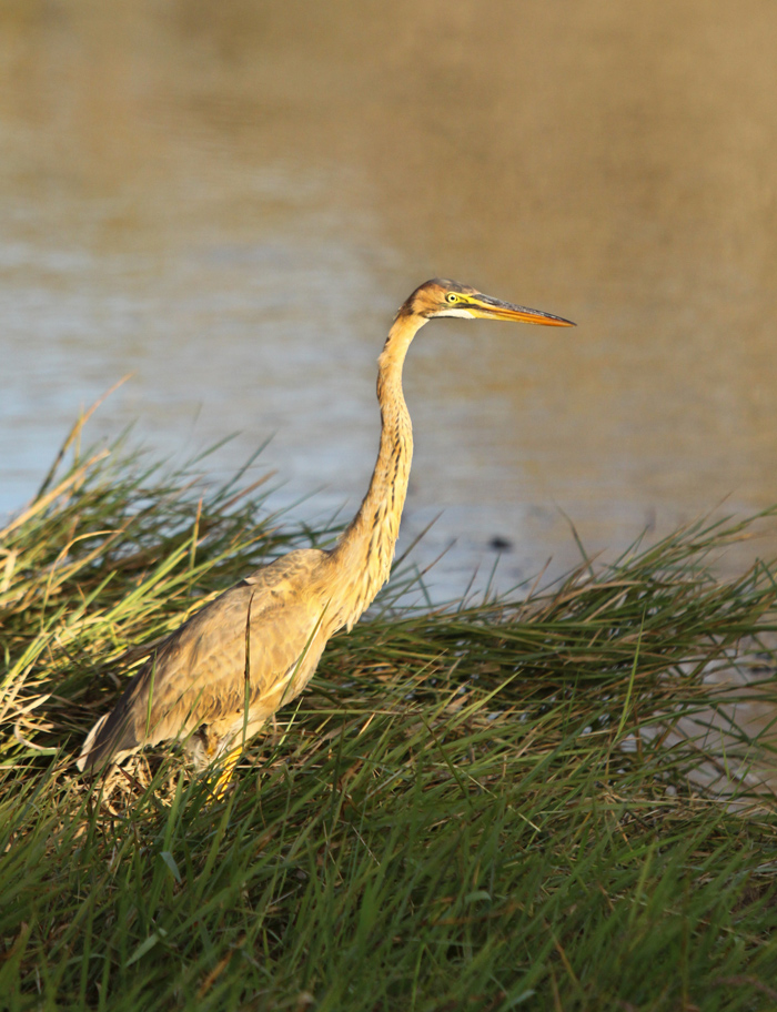 A purple heron waits patiently for its next meal at Camp Dam. Canon 500d F3.5 1/6000 ISO 400