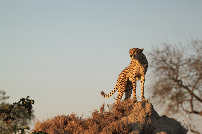 Female cheetah surveys the landscape for any potential prey from the top of a termite mound. Canon 500d F2.8 1/4000 ISO 200