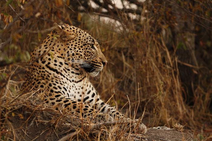 The new Tu-Tones male leopard.