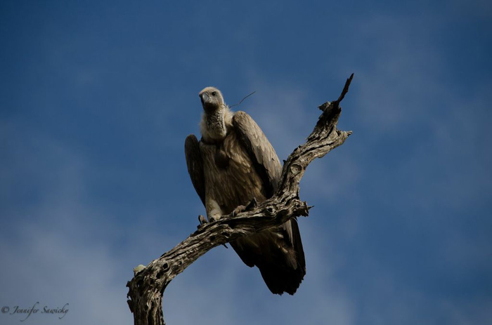 This tree held 12 vultures and a single hawk.  One by one they all took off - I liked the look of this one set against the bright blue sky. 1/1250sec, f5.6, ISO200, 240mm