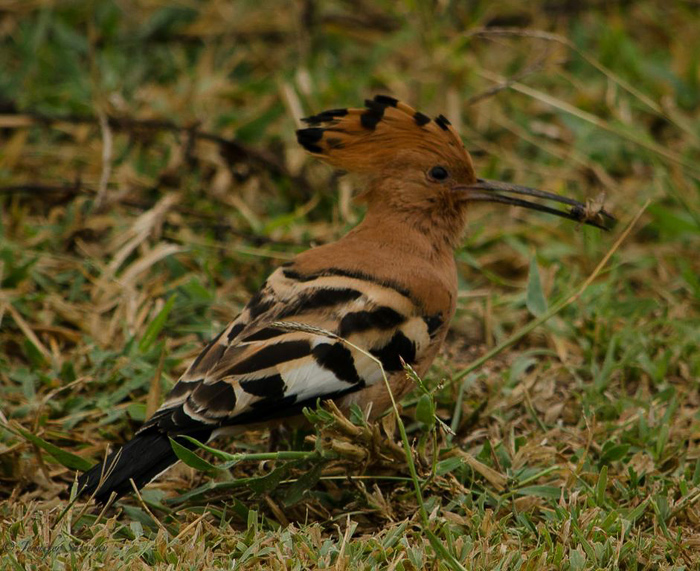 I had a lot of luck photographing the beautiful birds we came across.  We spent several minutes with this Hoopoe while it was picking in the grass next to the airstrip for something to eat. 1/500sec, f5.6, ISO200, 300mm