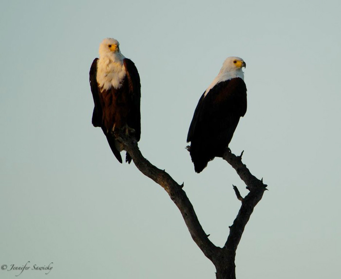 I really couldn't bear to leave, so I went on a half morning game drive on our departure day.  Across the river, these two Fish Eagles were in the perfect early morning light. 1/320sec, f5.6, ISO200, 300mm