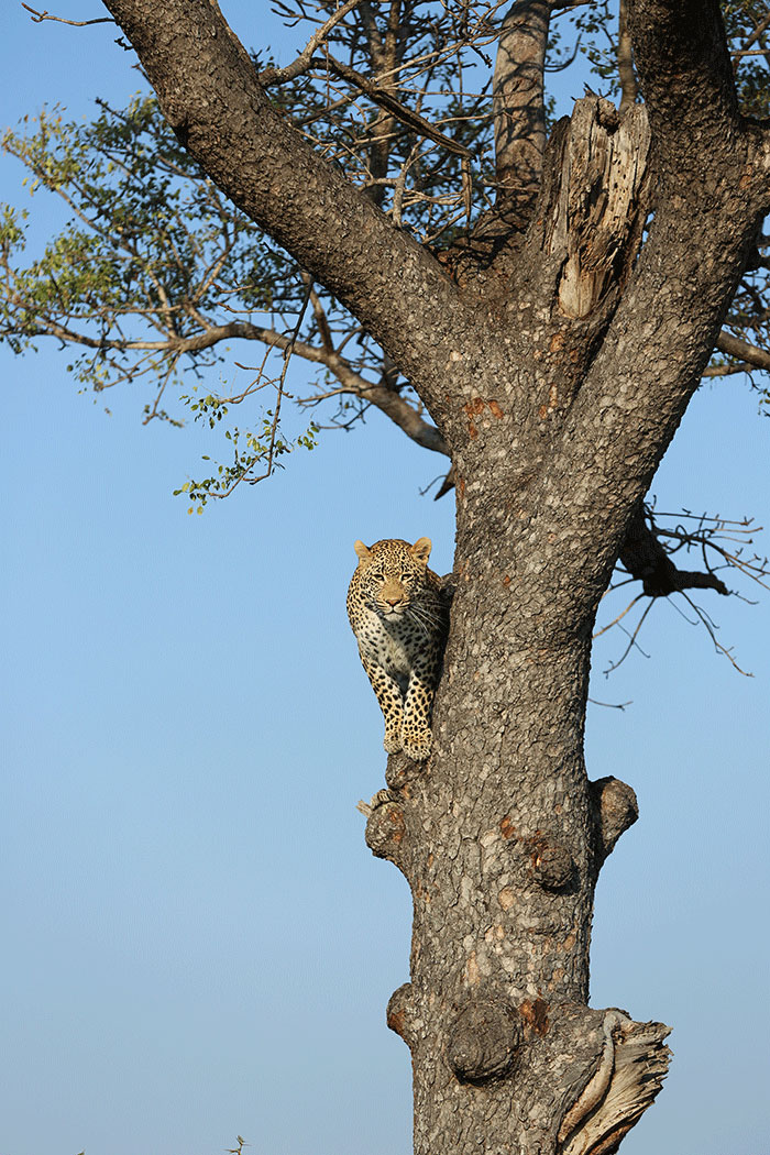 The .......... peers on from a high vantage point moments after he was chased up a gnarly Marula tree by the Marthly male leopard.f4.5, 1/800, ISO 100.