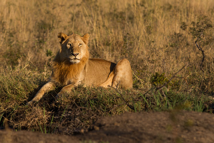 Although young, the regal air of a male lion is already apparent.