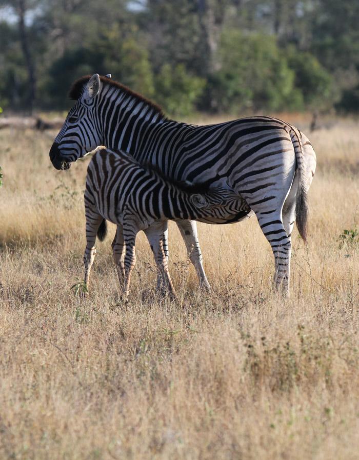 A young zebra suckling