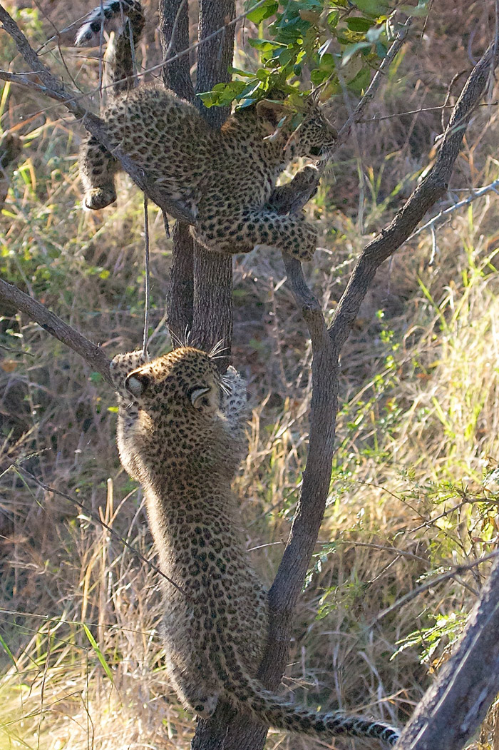 The cubs realise that there is not much for them so decide to climb trees instead