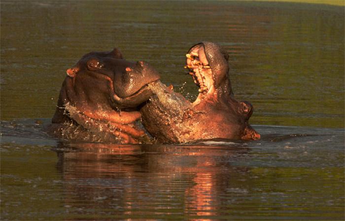 Hippos - LTA