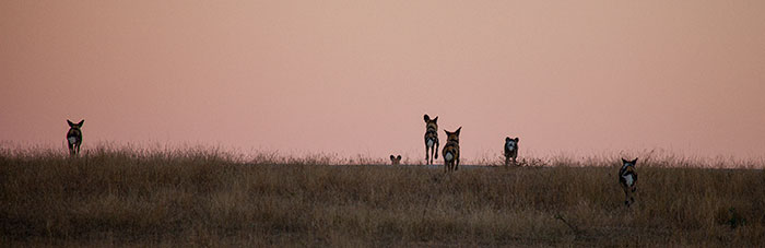 The pack diappears over the skyline...