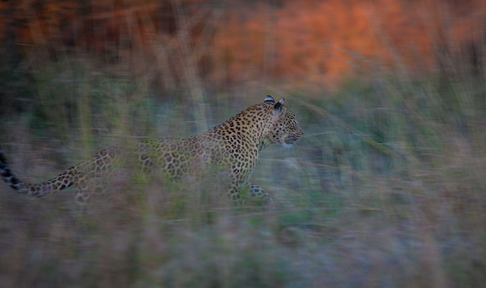 The Mashaba female comes bursting out of the bushes. Low light resulted in a slower shutter speed, blurring the motion and highlighting the leopard's speed.