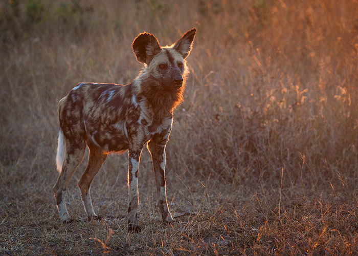 Beautiful evening light illuminates a wild dog as it stares back towards it's scattered pack-mates.