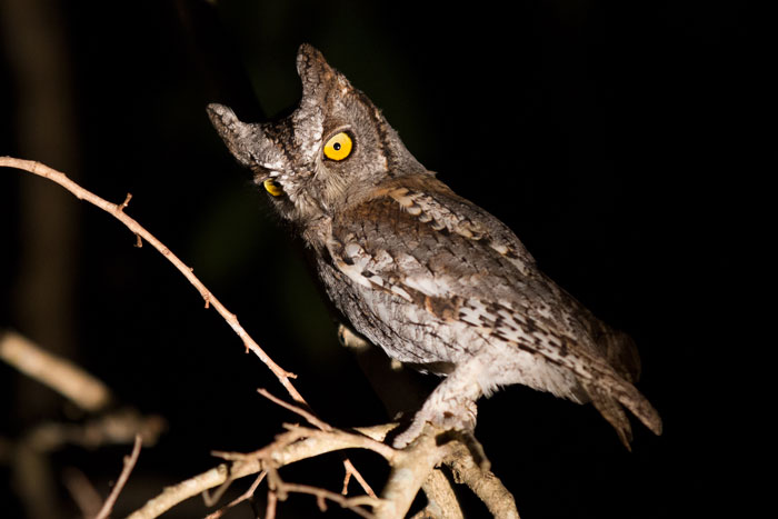 My absolute favourite bird, the diminutive Scops owl. This beatiful little specimen was perched low down in a tamboti tree near Finfoot crossing and was quite happy with us having a view of him from scarcely 3m away.