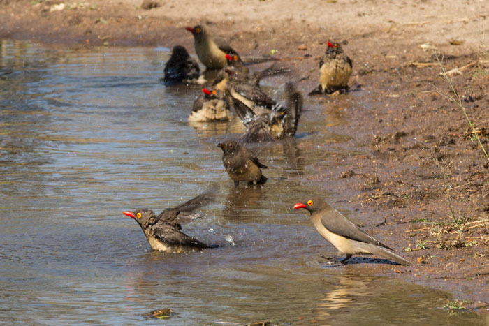 Some red-billed oxpeckers take a bath. It is often the micro dramas that offer the most valuable game-viewing experience. a gang of 10 or so buffalo bulls was standing idly round this pan, not doing anything in particular, and it was the oxpeckers that were by far the most fun to watch.