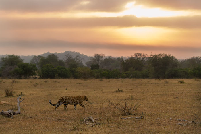 The Mashaba female early one morning moves across Fluffies clearing with the rising sun in the background. Sightings like this are truly special as leopards tend to favour dense vegetation and cover, so seeing them in the open like this is a rare privilege