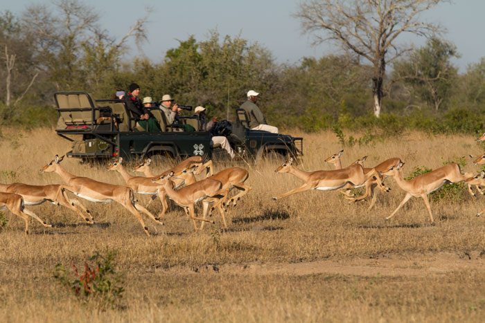A herd of impala on the run streak past ranger Melvin Sambo, tracker Milton Khoza and their guests.