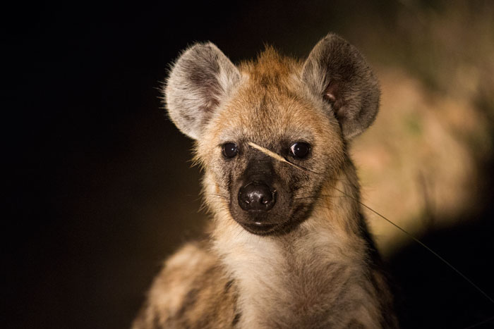 Way down south, on the fringes of the Majingilane's territory, the hyena population feels far more secure, and inquisitive youngsters like this one can gambol about after dark without as much fear of falling victim to the big male lions.
