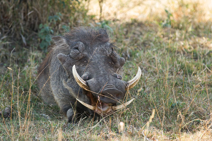 A serious set of tusks makes one realise why predators will think twice about taking on a large male warthog such as this one. The lower tusks, combined with a very dense lower jawbone and clearly visible here, are the seriously dangerous ones.