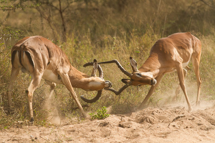 Two impala rams lock horns in a particularly violent contest, after the most intense time of the rut has already past.