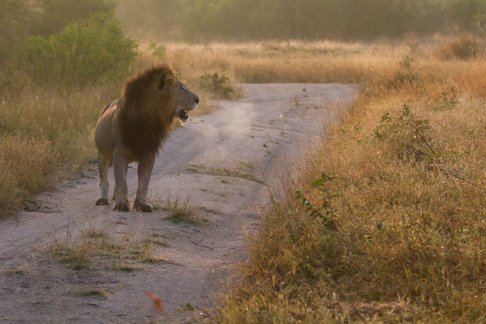 The dark-maned Majingilane on the prowl. His breath fogging up in the cool morning air, he was on the scent of a female, whose tracks headed west into the Sand River.