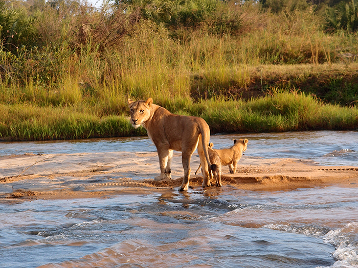 Pausing to let her cubs get their breaths back, the lioness glances back at the Land-rover.