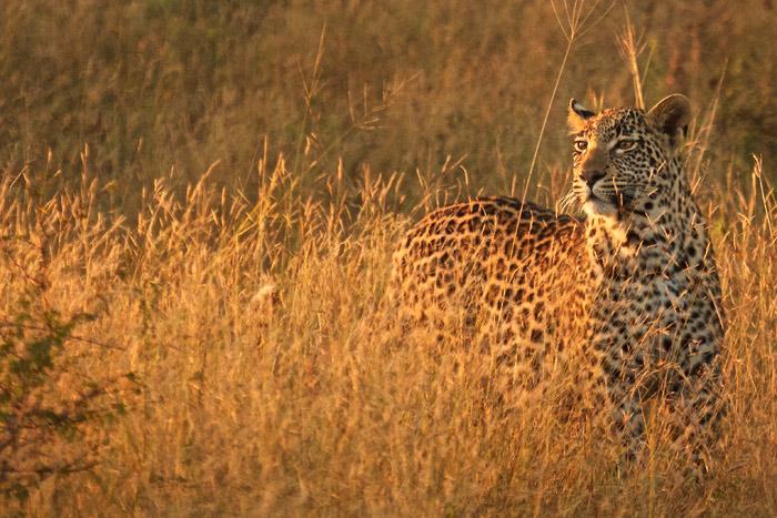 Morning light at Londolozi, - Lovanna