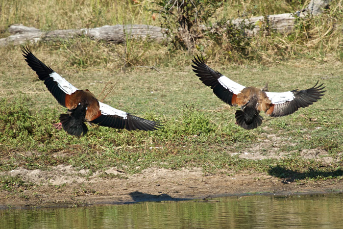 Egyptian geese coming in to land - Cathy