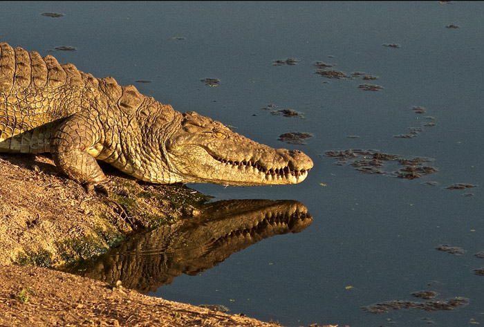 At Taylors Dam, the resident croc slipped back in the water, giving a nice reflection.