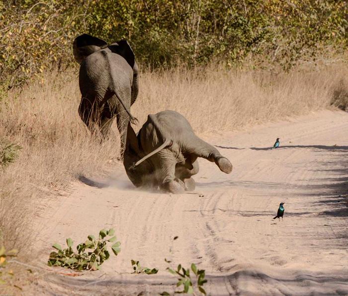 Elephant-fall